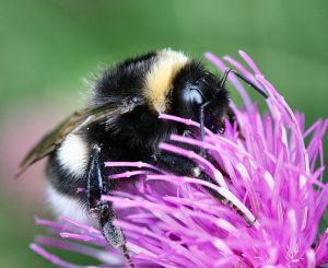 Bumblebee is latest species threatened by climate change. Photo: Hummel 2006